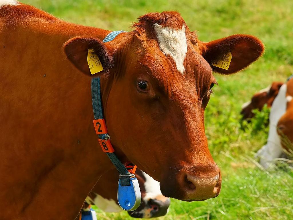 cow-1509258_1920
