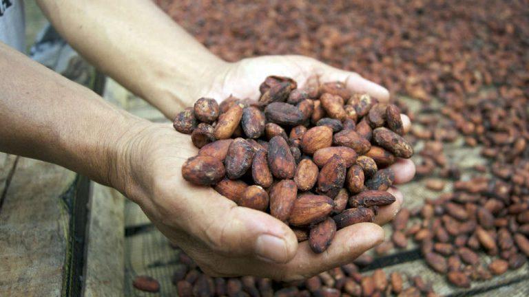 manifesto cacao